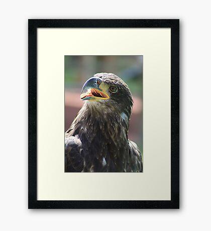 Juvenile Bald Eagle Framed Print