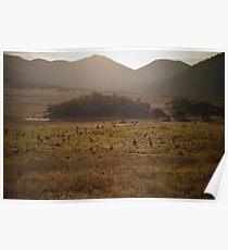 Mob of kangaroos, Namadgi National Park, Australia Poster