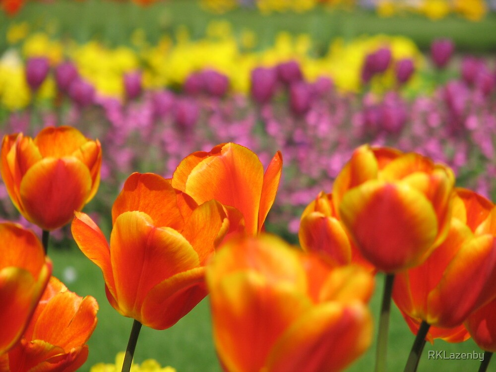 Orange Tulips by RKLazenby
