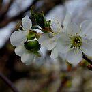 Promising Bloom - Apple Tree by Alissa Slagle