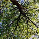 Looking Up - Tree View by Alissa Slagle