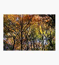 Tree Canopy, Ness Woods. Photographic Print