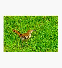 Brown Thrasher With Breakfast Photographic Print