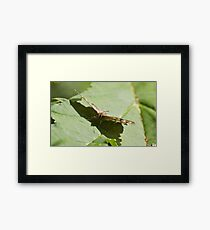 Speckled wood butterfly Framed Print