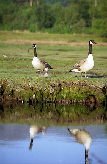 Reflections of geese. by Michael Haslam