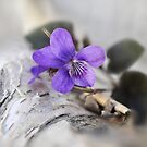 Violet over Birch by Sandra Guzman