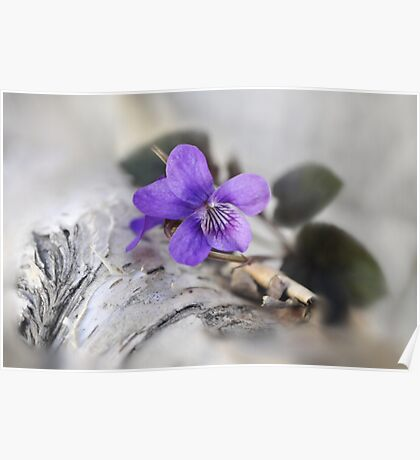 Violet over Birch Poster