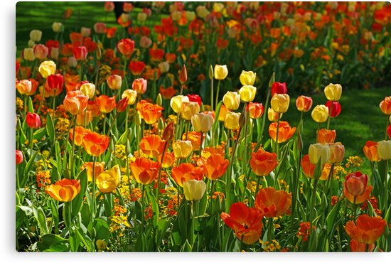 Colours Tulips by Aase