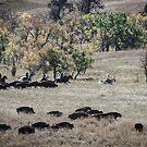 Buffalo Roundup 2 by mcstory