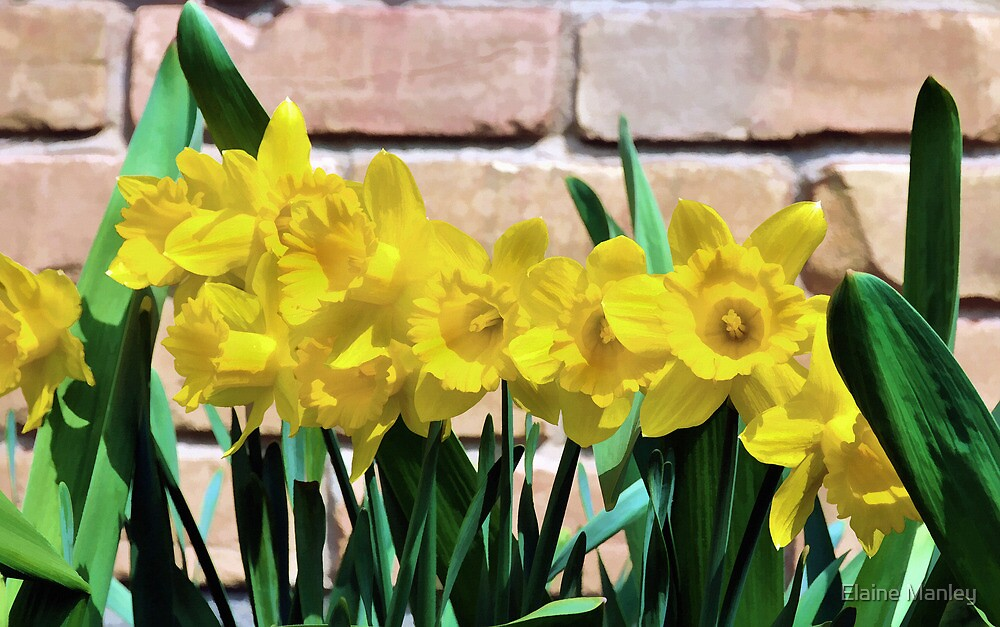 Sunny Daffodils by Elaine Manley