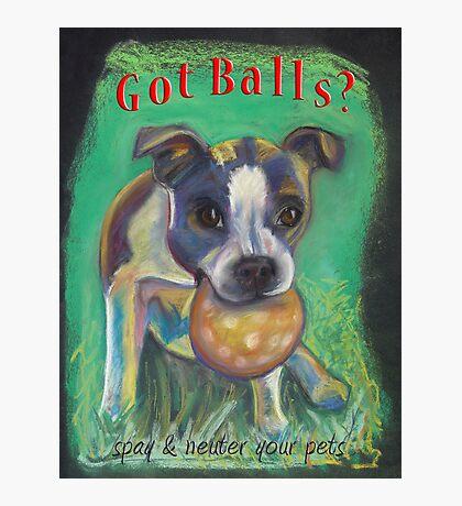 Boston Terrier - Spay/Neuter Photographic Print