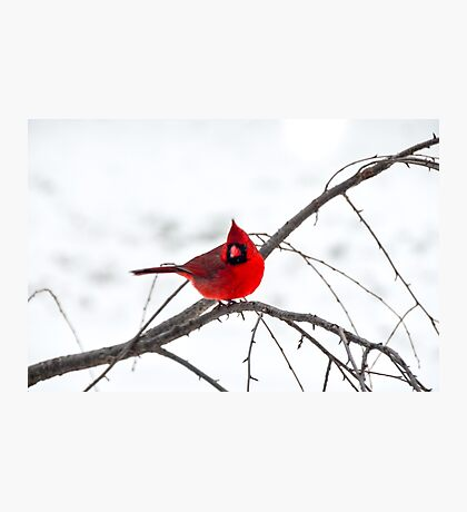 Cardinal On A Branch  Photographic Print