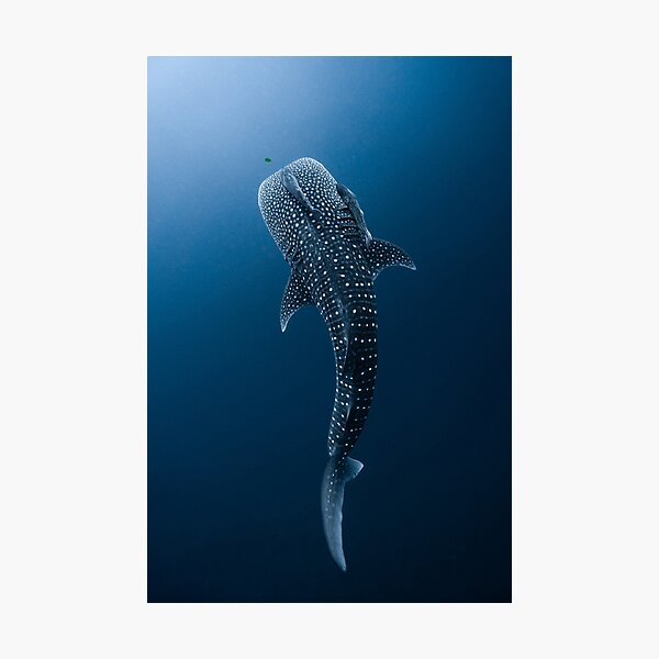 Whale Shark Portrait Photographic Print