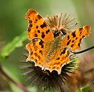 Comma Butterfly by Ray Clarke