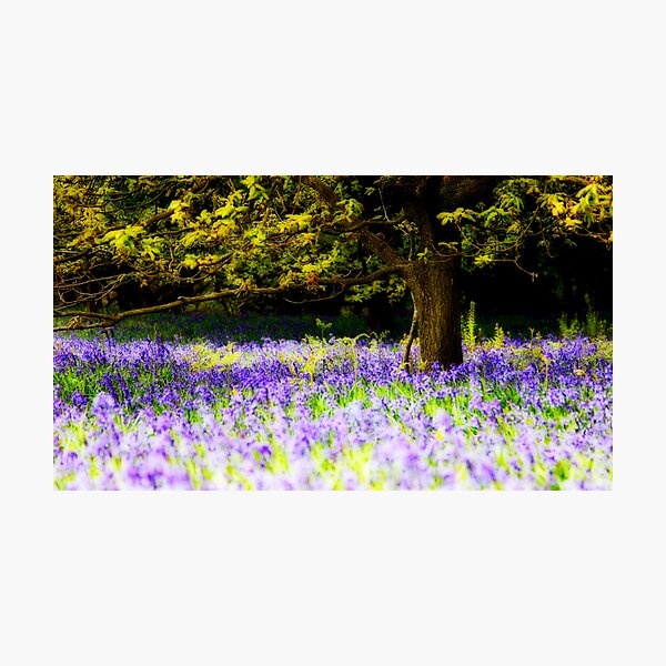 Bluebells (Orton) Photographic Print
