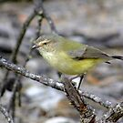 Weebill by Rick Playle