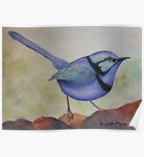 Splendid Blue Wren Poster
