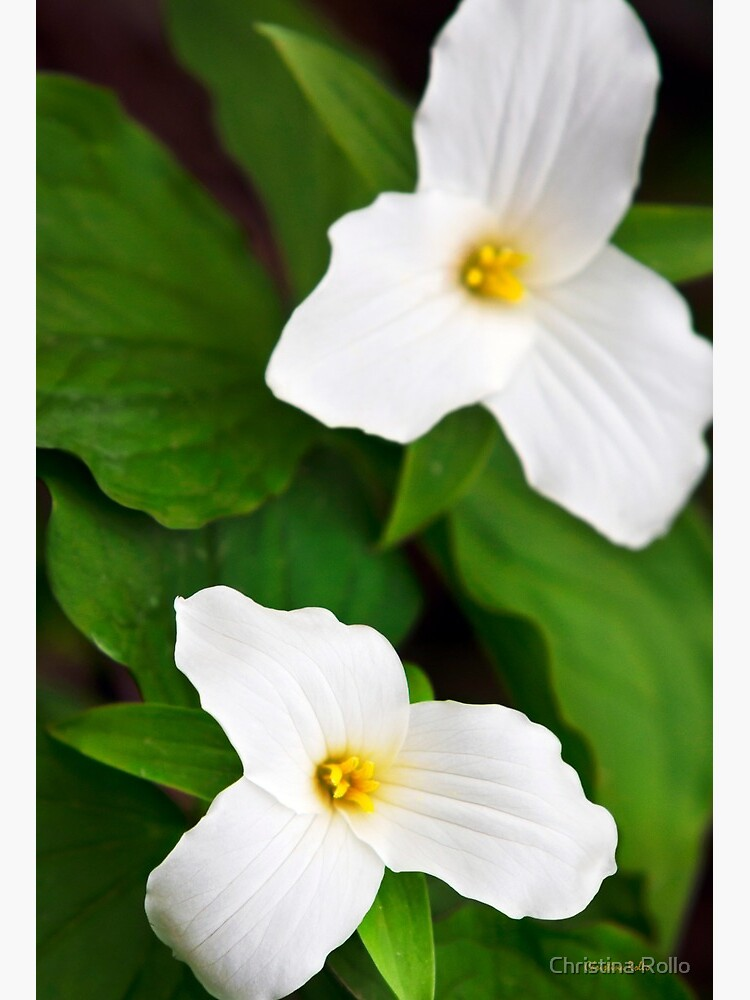 White Trillium Flowers Art Board Print By Rollosphotos Redbubble