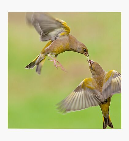 Greenfinches in flight Photographic Print