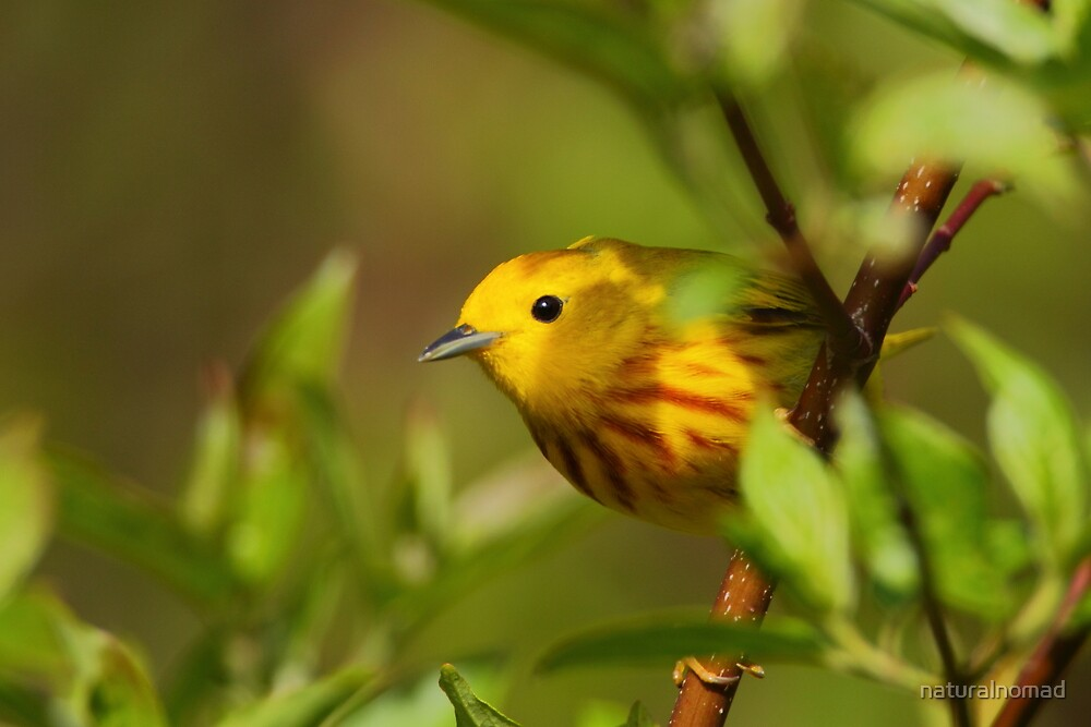 Yellow Warbler II by naturalnomad