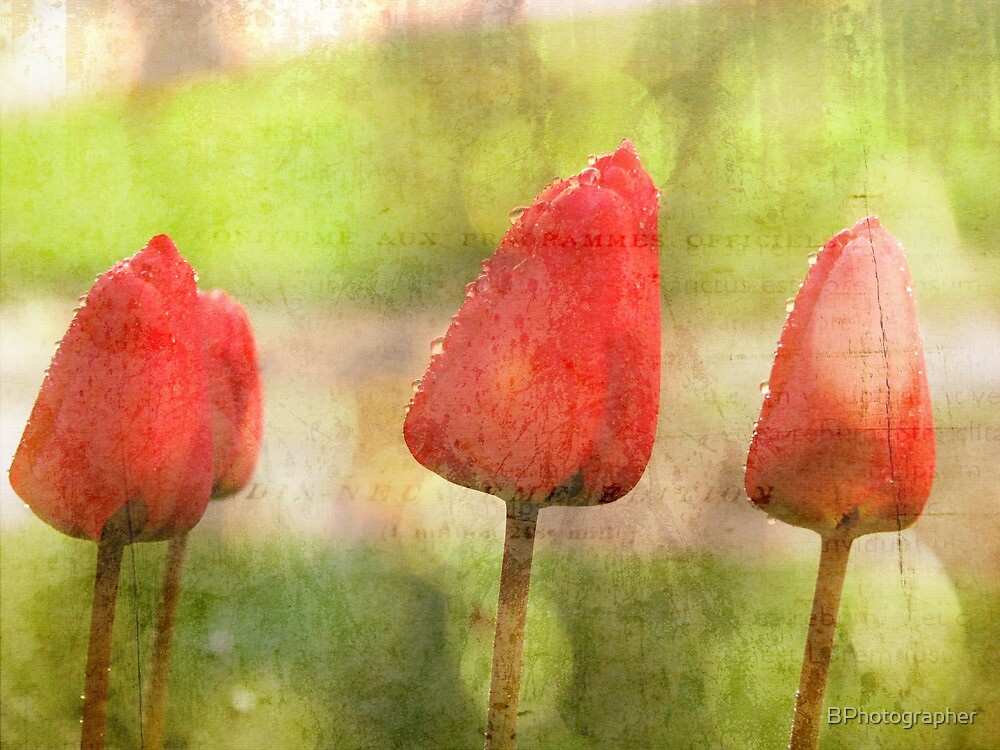 Tulips of the Spring by BPhotographer