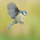 Blue tit ~ In flight by M.S. Photography/Art