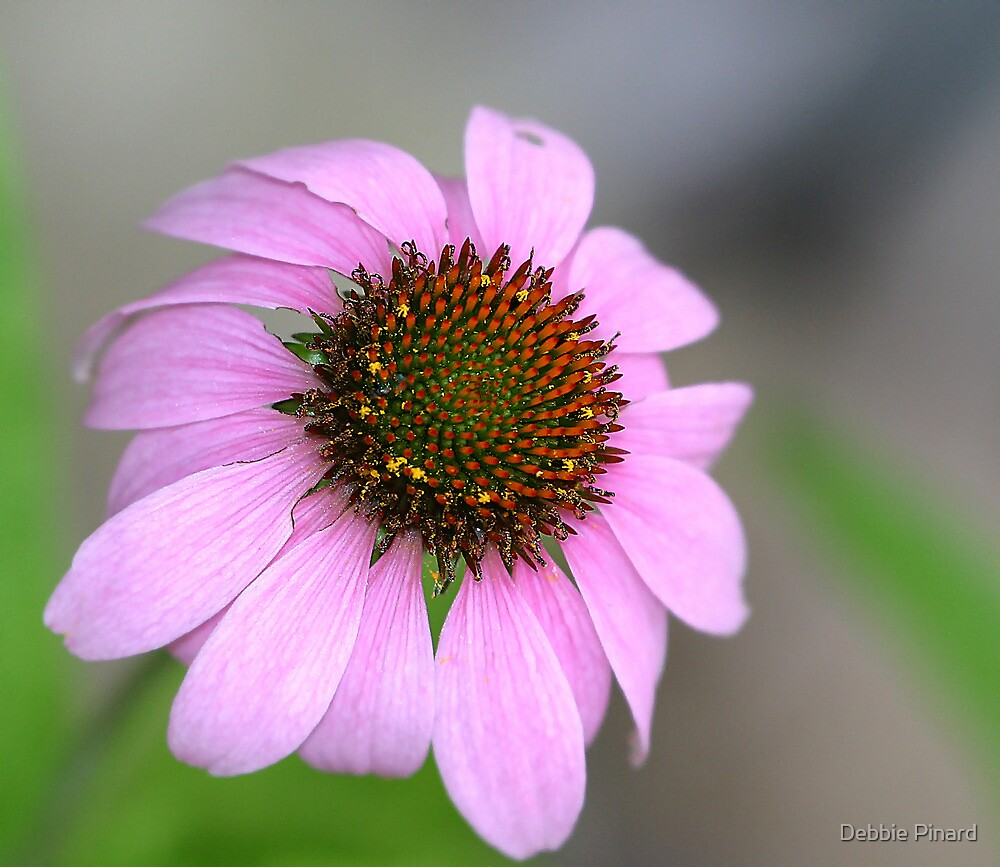Pink Daisy by Debbie Pinard