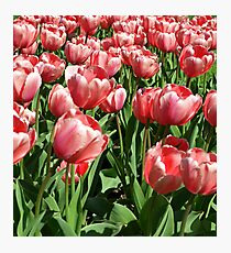 PINK TULIPS. Photographic Print