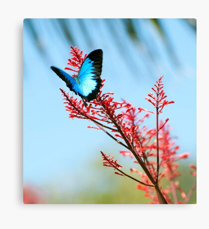 The beautiful Ulysses butterfly Canvas Print