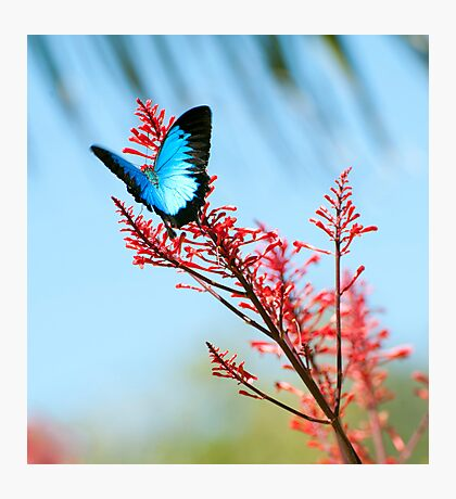 The beautiful Ulysses butterfly Photographic Print