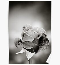 Rose and Dew Drops Poster