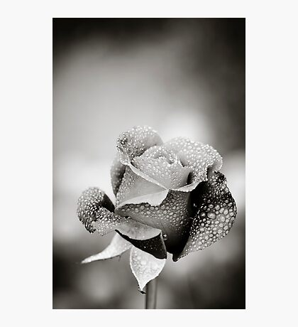 Rose and Dew Drops Photographic Print