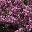 Lilac Supreme by Lyle Hatch
