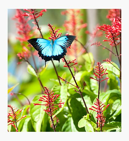 Tropical Treat - Ulysses butterfly Photographic Print
