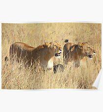 Female Lions Guarding the Kill, Maasai Mara, Kenya  Poster