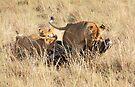 Female Lion with Cubs, Moving the Kill, Maasai Mara, Kenya  by Carole-Anne