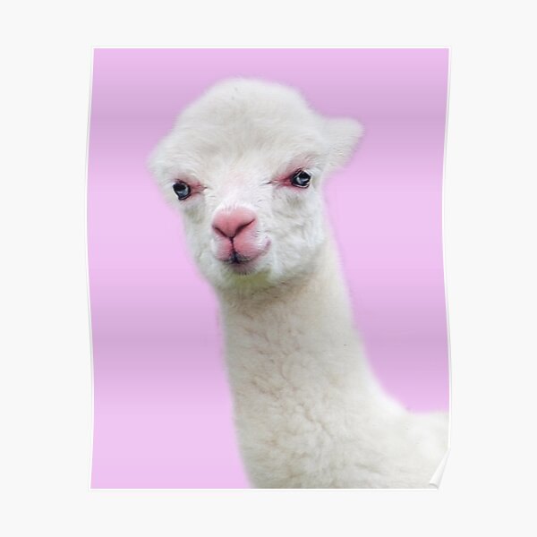 Baby Alpaca with pink background Poster