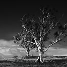 Two Trees, Ross, Tasmania by Doug Thost
