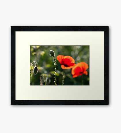 Backlit bud Framed Print