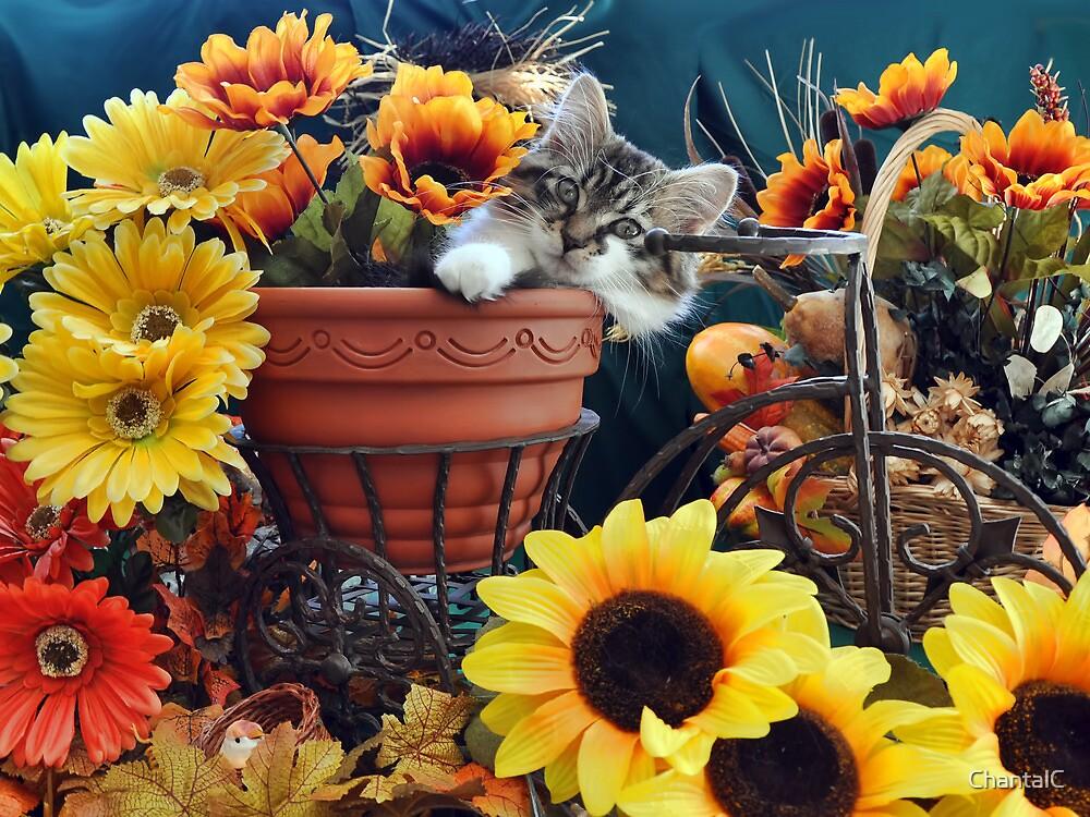 Venus ~ Cute Kitty Cat Kitten in Fall Colors by Chantal PhotoPix
