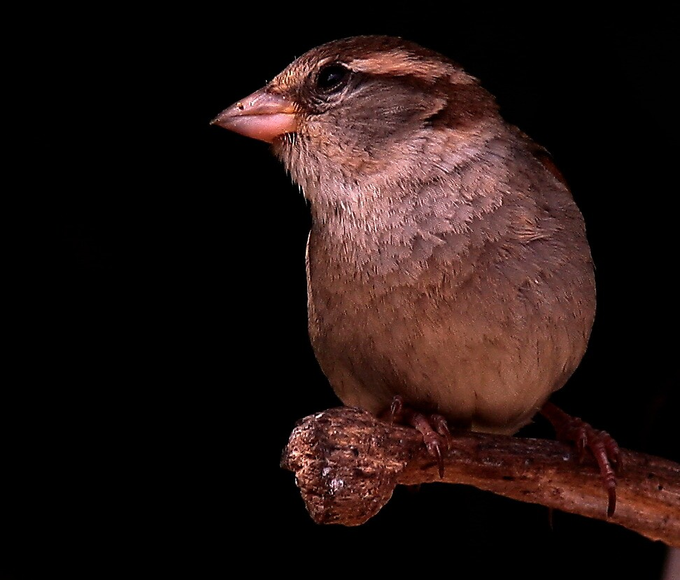 The House Sparrow by snapdecisions