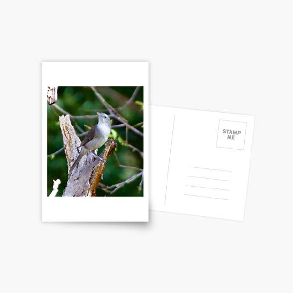 SHRIKETHRUSH ~ Grey Shrikethrush 24NY6384 by David Irwin Postcard
