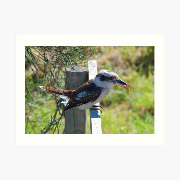 KINGFISHER ~ Kookaburra AYRJBJ73 by David Irwin Art Print