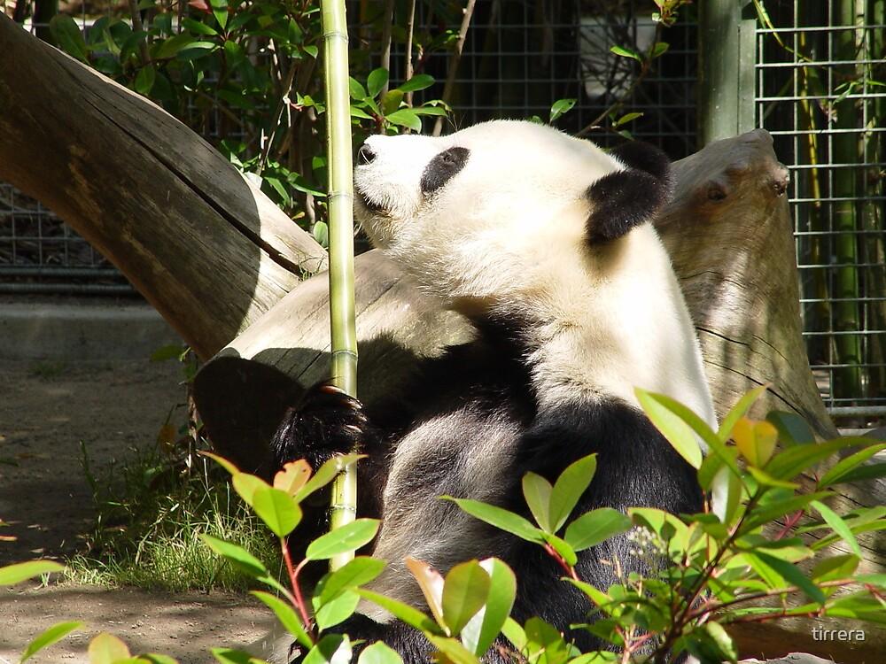 Panda contemplating lunch by tirrera