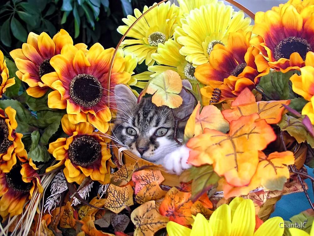 Venus ~ Hidden ~ Fall Kitten by Chantal PhotoPix