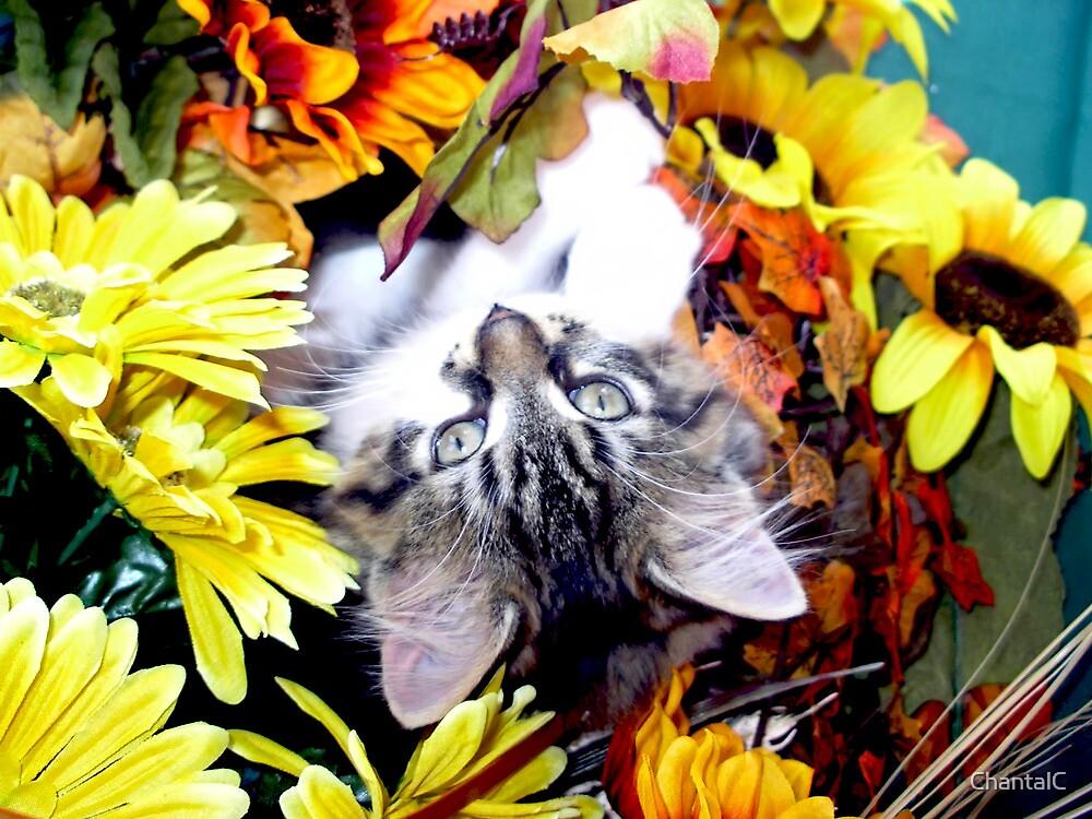Venus ~ My World has turned Upside Down ~ Fall Kitten by Chantal PhotoPix