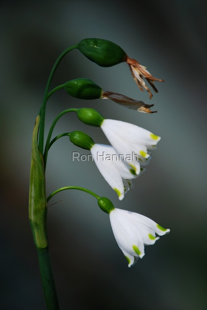 Snowdrops by Ron Hannah