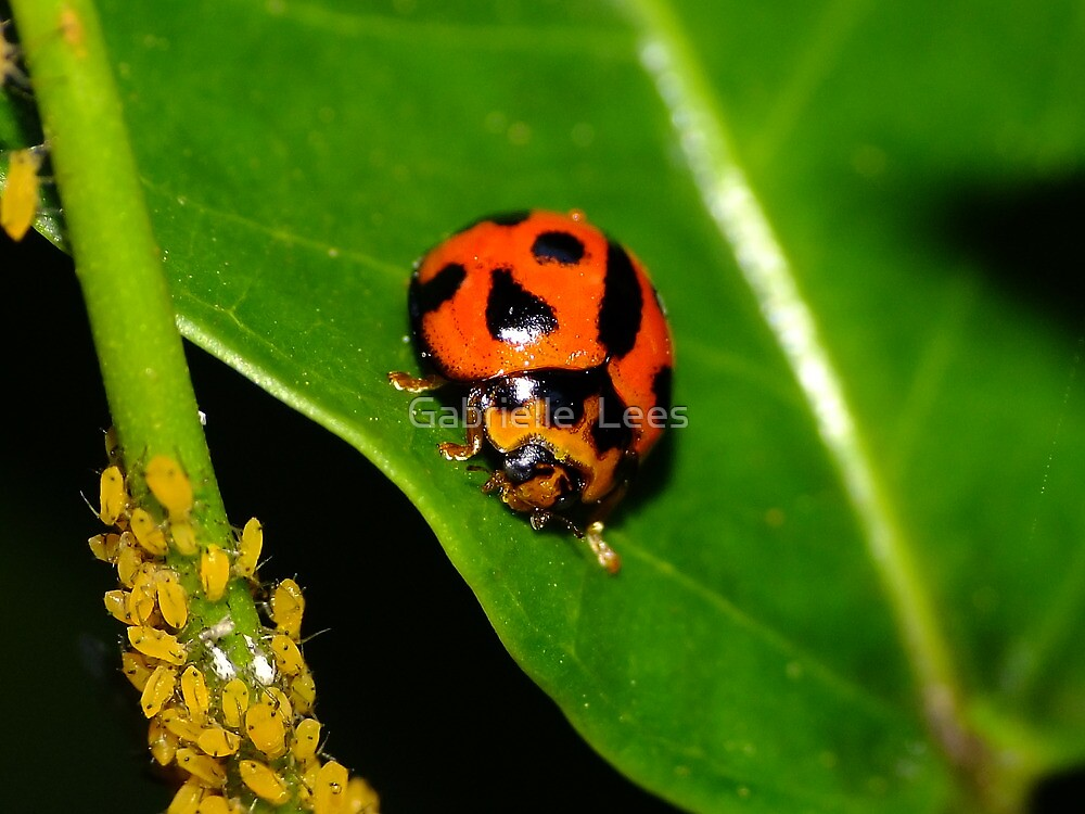 Lady Bird & Aphids by Gabrielle  Lees