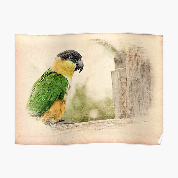 Parrot Sketch Poster