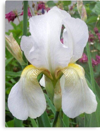 White Iris by Ginny York